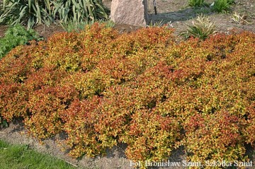 Spiraea japonica MAGIC CARPET 'Walbuma'