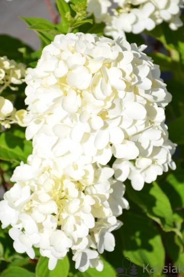 Hydrangea paniculata LIVING SUMMER SNOW (Hortensja bukietowa) - C7.5