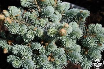 Picea pungens 'Compacta Pyramidalis'