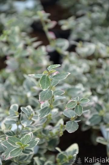 Euonymus fortunei 'Emerald Gaiety' (Trzmielina Fortunea) - C2