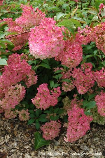 Hydrangea paniculata 'Vanille Fraise' (Hortensja bukietowa) - C2