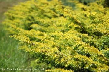 Juniperus communis 'Depressa Aurea'