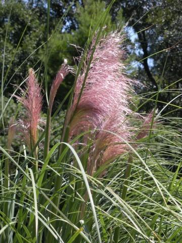Cortaderia selloana 'Rose Plume' (Trawa pampasowa) - C2