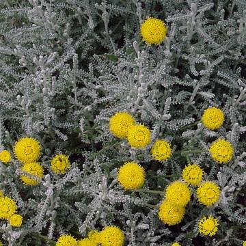 Santolina chamaecyparissus (Santolina cyprysikowata) - C2
