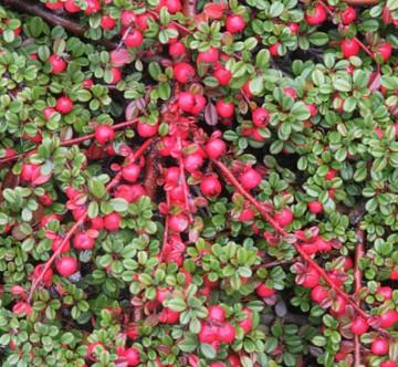 Cotoneaster procumbens 'Streib's Findling' (Irga płożąca) - C2