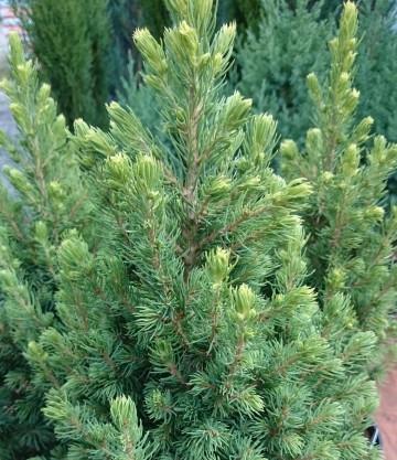 Picea glauca 'Rainbow's End' (Świerk biały) - C5