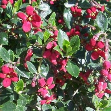 Escallonia 'Red Dream' (Eskalonia)  - C2