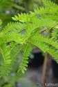 Gleditsia triacanthos 'Sunburst' (Glediczja trójcierniowa) - C5 PA