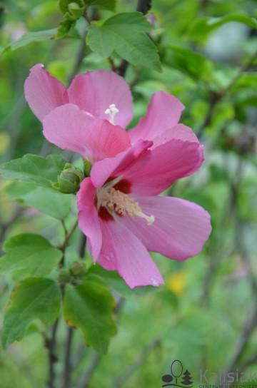 Hibiscus syriacus 'Woodbridge' (Ketmia syryjska) - C5 PA