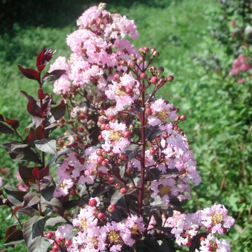 Lagerstroemia indica RHAPSODY IN PINK (Lagerstremia indyjska) - C3