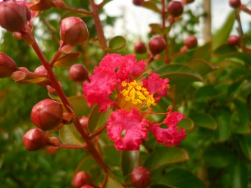 Lagerstroemia indica 'Rubra Magnifica' (Lagerstremia indyjska) - C5