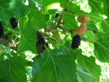 Morus 'Illinois Everbearing' (Morwa czarna) - C2