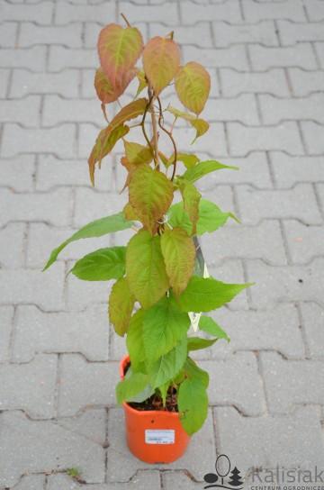 Actinidia kolomikta 'Dr Szymanowski' (Aktinidia pstrolistna) - C2