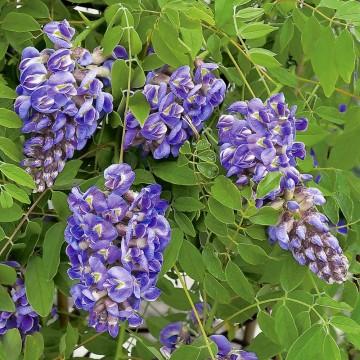 Wisteria sinensis 'Amethyst' (Glicynia chińska) - C2