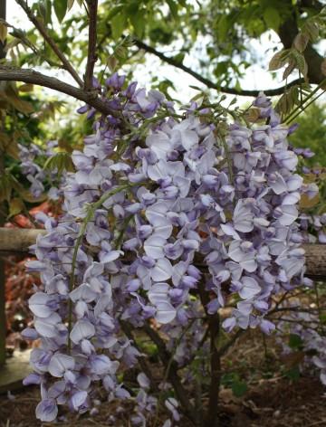Wisteria floribunda 'Royal Purple' (Glicynia kwiecista) - C2