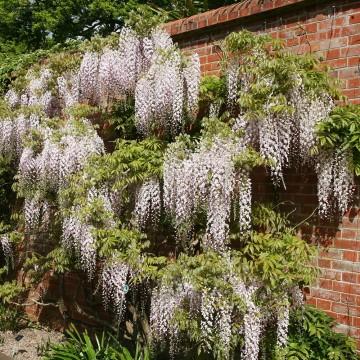 Wisteria floribunda 'Kuchi-Beni' (Glicynia kwiecista) - C2