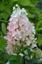 Hydrangea paniculata PINKY WINKY 'DvpPinky' (Hortensja bukietowa) - C3