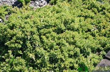 Juniperus procumbens 'Nana' (Jałowiec rozesłany) - C2