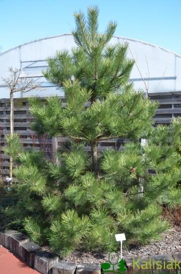 Pinus nigra (Sosna czarna) - C5
