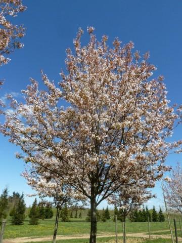 Amelanchier arborea 'Robin Hill' (Świdośliwa drzewiasta) - C5