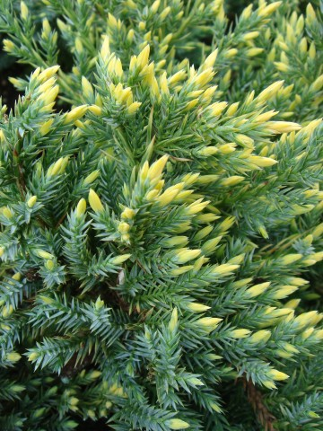 Juniperus squamata 'Gold Tip' (Jałowiec łuskowaty) - C2