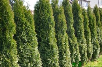 Thuja occidentalis 'Smaragd' (Żywotnik zachodni) - C7.5