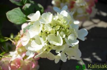 Hydrangea paniculata 'Diamant Rouge' (Hortensja bukietowa) - C5