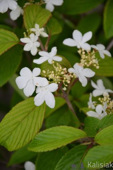 Viburnum plicatum KILIMANJARO 'Jww1' (Kalina japońska) - C5