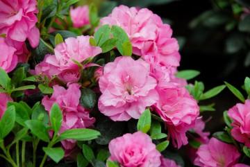 Rhododendron japanase azalea 'Rosinetta' (Azalia japońska) - C2
