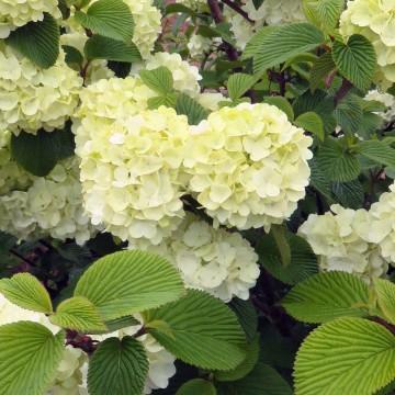 Viburnum plicatum 'Opening Day' (Kalina japońska) - C5