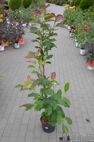 Magnolia kobus 'Esveld Select' (Magnolia japońska) - C5
