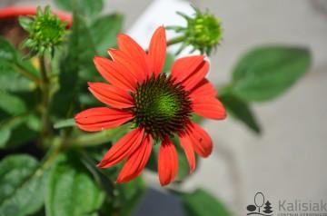 Echinacea 'Red Pearl' (Jeżówka) - C2