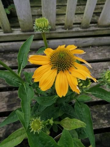 Echinacea 'Prairie Blaze Golden Yellow' (Jeżówka) - C2