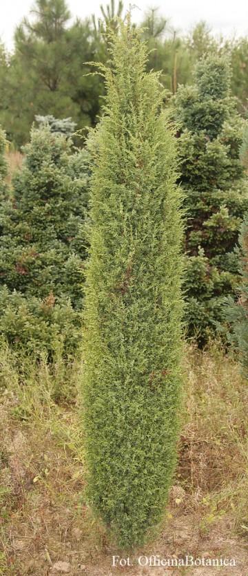 Juniperus communis 'Hibernica' (Jałowiec pospolity) - C2