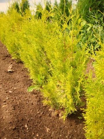 Thuja occidentalis 'Salland' (Żywotnik zachodni) - C2