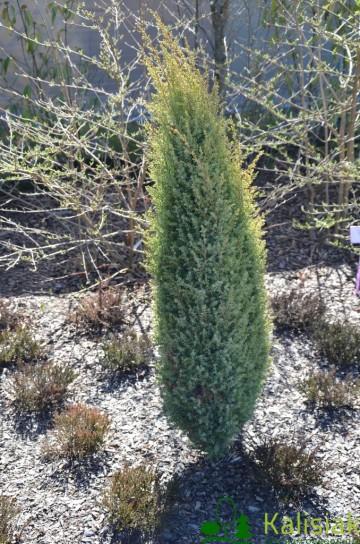 Juniperus communis 'Gold Cone' (Jałowiec pospolity) - C2