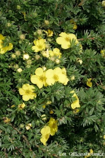 Potentilla fruticosa 'Kobold' (Pięciornik krzewiasty) - C2