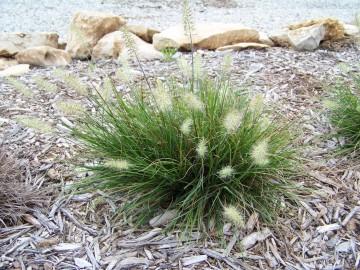Pennisetum alopecuroides 'Little Bunny' (Rozplenica japońska) - C2