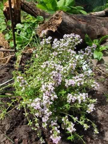 Thymus vulgaris 'Precompa' (Macierzanka zwyczajna) - C2