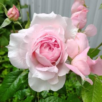 Rosa 'Lambert Closse' (Róża kanadyjska) - C2