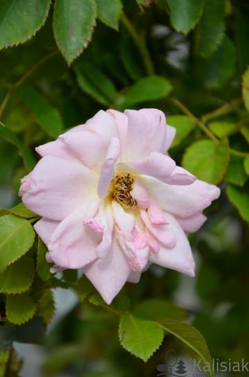 Rosa 'Marie-Victorin' (Róża kanadyjska) - C2