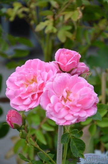 Rosa 'Morden Belle' (Róża kanadyjska) - C2