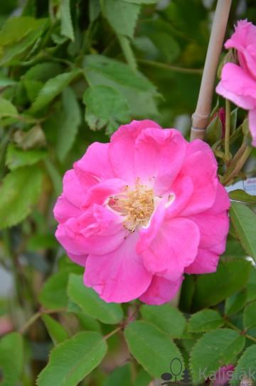 Rosa 'Morden Centennial' (Róża kanadyjska) - C2