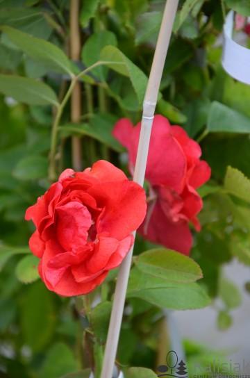 Rosa 'Morden Fireglow' (Róża kanadyjska) - C2