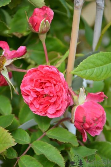Rosa 'Morden Ruby' (Róża kanadyjska) - C2
