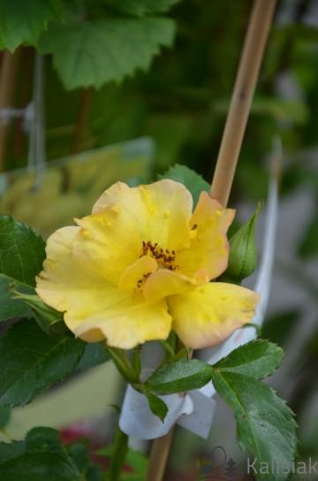 Rosa 'Morden Sunrise' (Róża kanadyjska) - C2