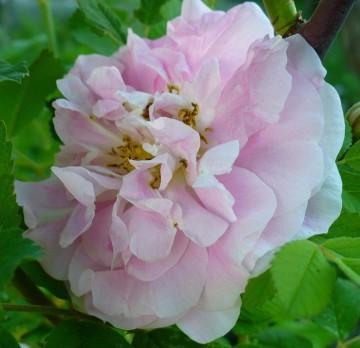 Rosa 'Martin Frobisher' (Róża kanadyjska) - C2