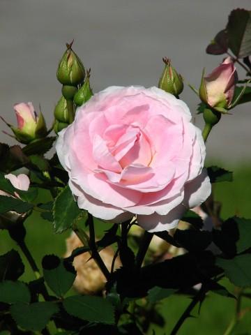 Rosa 'Morden Blush' (Róża kanadyjska) - C2