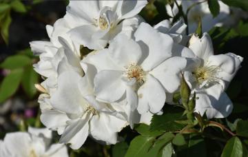 Rosa 'Morden Snowbeauty' (Róża kanadyjska) - C2