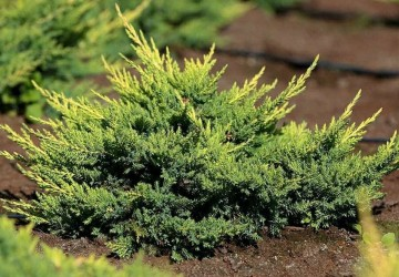 Juniperus pfitzeriana 'Mordigan Gold' (Jałowiec Pfitzera)  - C3
